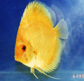 """Thai Yellow Discus Fish"" 2 inch"