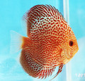 """Green Leopard Discus Fish"" 2.25 inch"