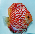 (Tan) Red Dragon Discus Fish 3""