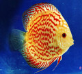 "Saffron Spotted Discus Fish 2.25"""