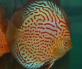 """Spotted Royal Pigeon Discus Fish"" 3.25 inch"