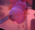 """Brilliant Red Tiger Discus Fish"" 3 inch"