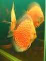 """Snow Leopard Discus Fish"" 2.5 inch"