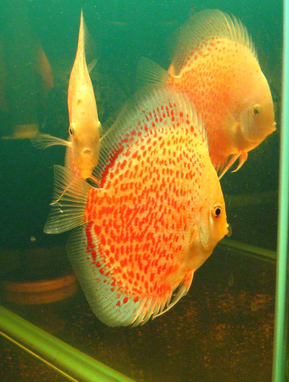 Snow leopard discus fish 2 inch mac 39 s discus for Discus fish price