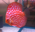 """Checkerboard Pigeonblood Discus Fish"" 2.5 inch"