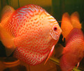 """Golden Leopard Discus Fish"" 4.25 inch"
