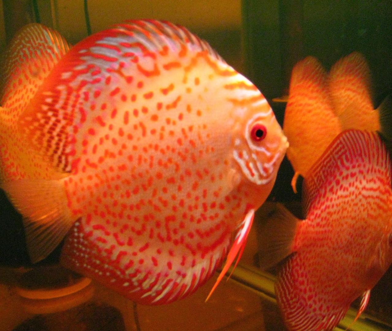 Golden Leopard Discus Fish\