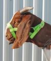 Nylon Goat Halter