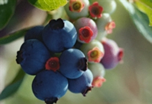Blueberries on a tree