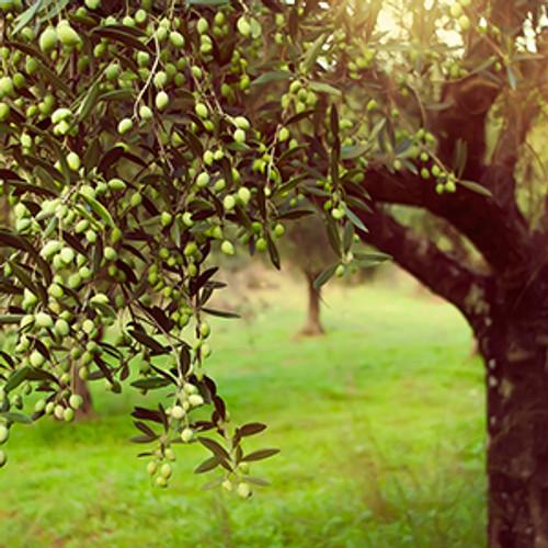 Chilean Frantoio Olive Oil