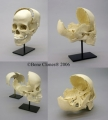 Osteological Reproductions