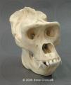 Animal Osteological Models