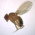 Drosophila and Ancillary Items