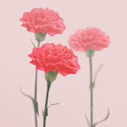 Appree Carnation magnet set