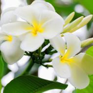 Tiare Flower Fragrance Oil