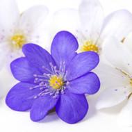 Violets Are Blue Fragrance Oil