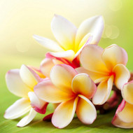 Sun Kissed Plumeria Fragrance Oil