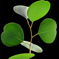 Eucalyptus Fragrance Oil