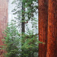Redwood & Cedar Fragrance Oil