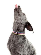 Paw Paws Bubble Gum Dog Collar - Yummy Gummy on Blue