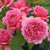 English Rose Solid Perfume Stick