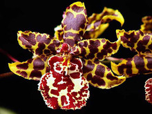 Odontocidium Wildcat 'Magic Leopard'