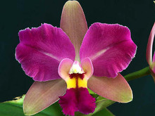 Rlc Sully's Color 'Bayswater AM/OCNZ