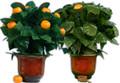 Orange Tree Illusion, R/C, Large 15 Oranges