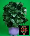 Blooming Rose Bush - R/C - 30 Flowers