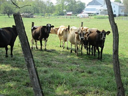 Amish Mary Cows