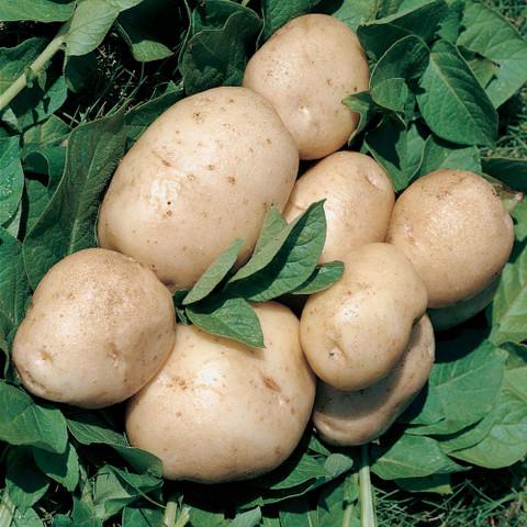 Potato British Queen