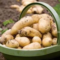 Potato Charlotte
