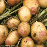 Potato King Edward