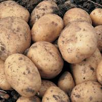 Sante Potato