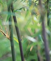 Black Bamboo (Phyllostachys Nigra)