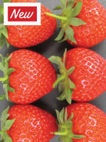 Strawberry Judibell
