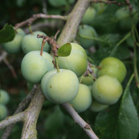 Green Gage Fruit Trees