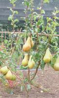 Family Pear Tree