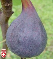 Fig Califfo Blue