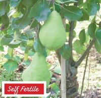 Pear Garden Pearl