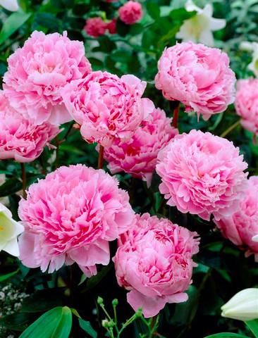 Paeonia Hardy Pink
