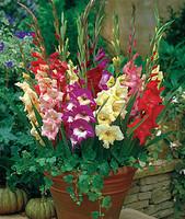 Glamini Gladiolus Mixed
