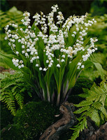 Super Value Pack Lily Of  The Valley