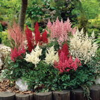 Super Value Astilbe Collection