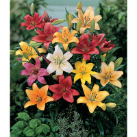 Super Scented Lilies