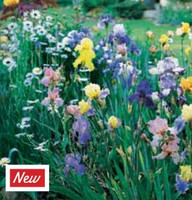 Bearded Iris Collection
