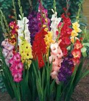 Gladioli Mr Middleton's  Cut Flower Mixture
