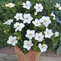 Gardenia Jasmonoides  'Kleims Hardy'