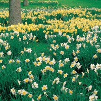 Narcissus For Naturalizing