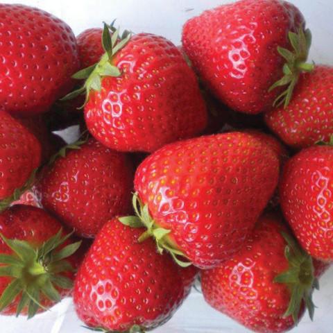 Mr Middleton Strawberry Elsanta